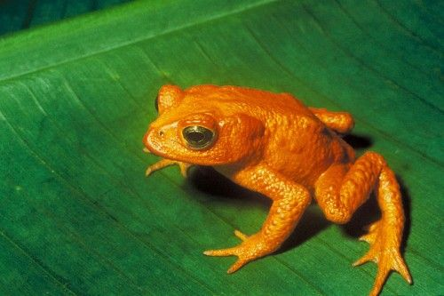 Extinct: Golden Frog: This little guy was a bright, shiny orange and would often be on posters to advertise the country where it was discovered – Costa Rica. There used to be thousands of the creatures, but in 1987, scientists counted only two females and seven males. The next year they saw one male, and by 2004, the species was listed as extinct. Weather conditions were given as the reason for the demise of the toad — El Nino to be exact. It caused the weather to be too dry to support the…