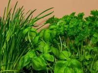 Learn how to plant, grow, and harvest coriander and cilantro from The Old Farmer's Almanac.
