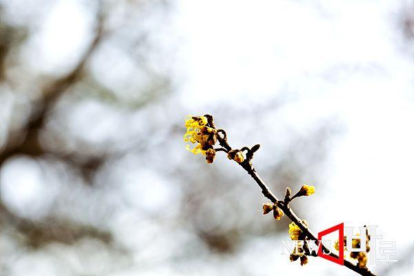 <<홍릉숲 - 개화중인 풍년화>> (홍릉숲에서 ©뉴스바로 장덕수 기자 2015.2.8)