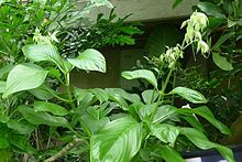 Acanthaceae - Wikipedia, the free encyclopedia
