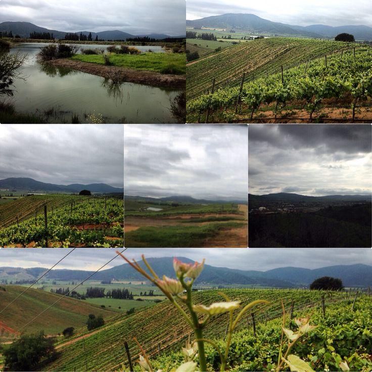 Viñas - Valle de Casablanca - Quinta Región - Chile