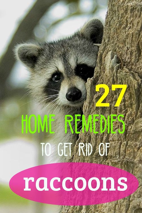Here's how to remove raccoons using safe, natural and cost-effective home remedies