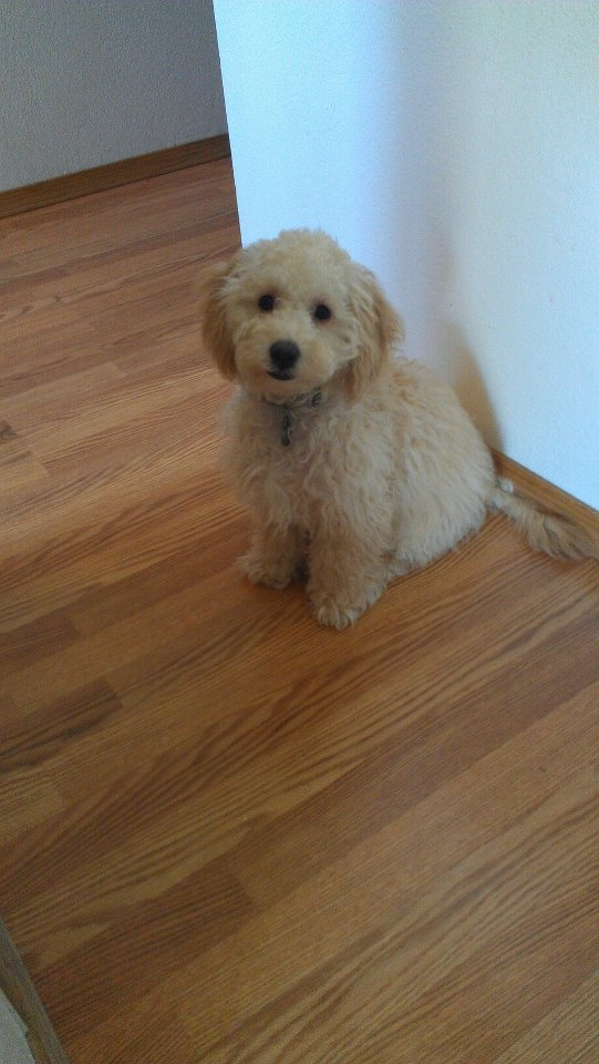 Toto, my toy poodle (before grooming)