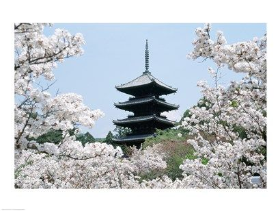 Cherry Blossoms Ninna-Ji Temple Grounds Kyoto Japan