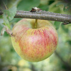 Pommier Sweet Sixteen - Zone 3b - Une pomme à saveur unique -