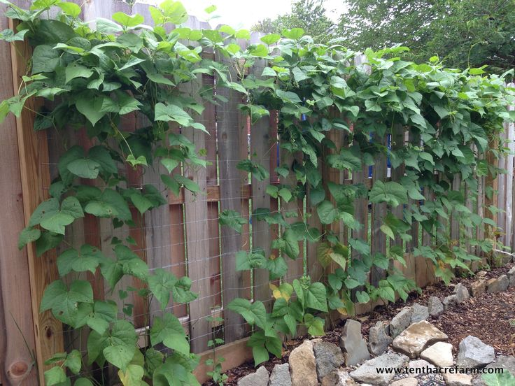 pole bean supports pole bean metal grid trellis the green beans have already reached the