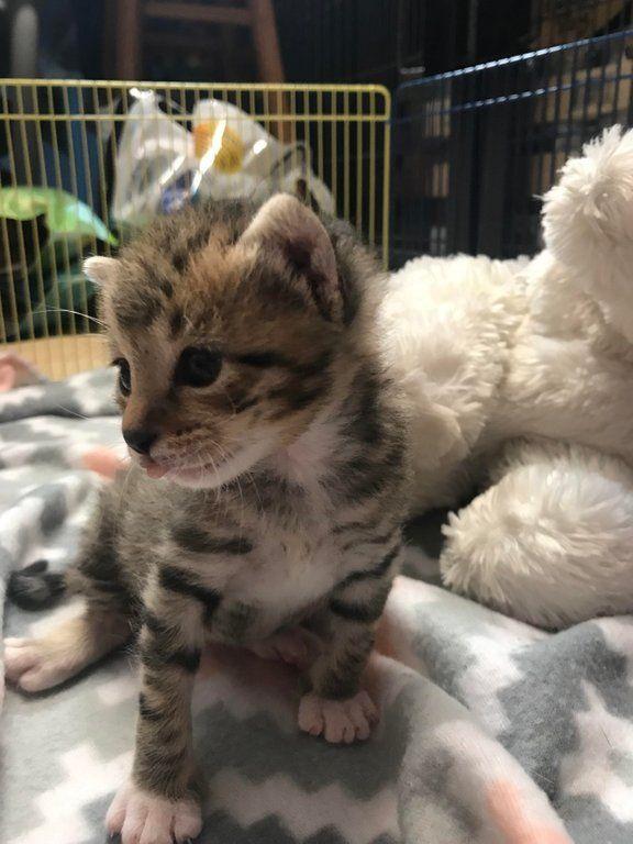 Varden A Zwollywood Cat 3 Weeks Old Ragdoll Kitten Fur Babies