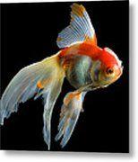 Fantail Goldfish Metal Print by Wernher Krutein