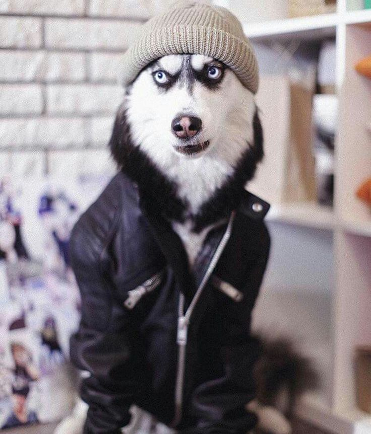 Husky with attitude lol                                                                                                                                                                                 More