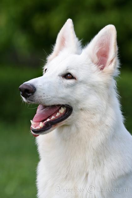 American/Canadian White Shepherd AKA White German Shepherd