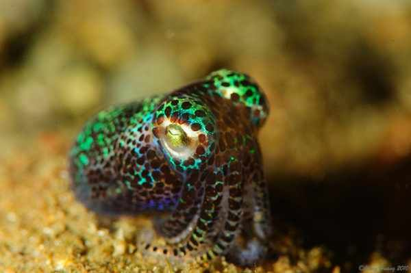 Native to the islands of Hawaii and the Central Pacific Ocean, the Bobtail Squid uses bioluminescence to camouflage itself by matching  its underside to the shade of light illuminating the water above it.  Though the  light is generated by the colonies of luminous bacteria housed in the squid's organs, the host squid can control the direction and the brightness of the flashes of light.