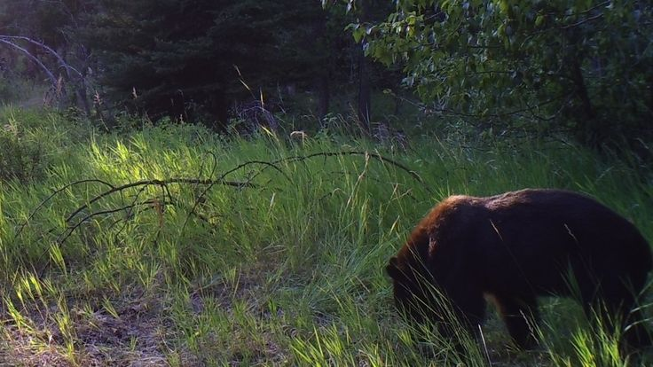Bear in mind, this might be a grizz.