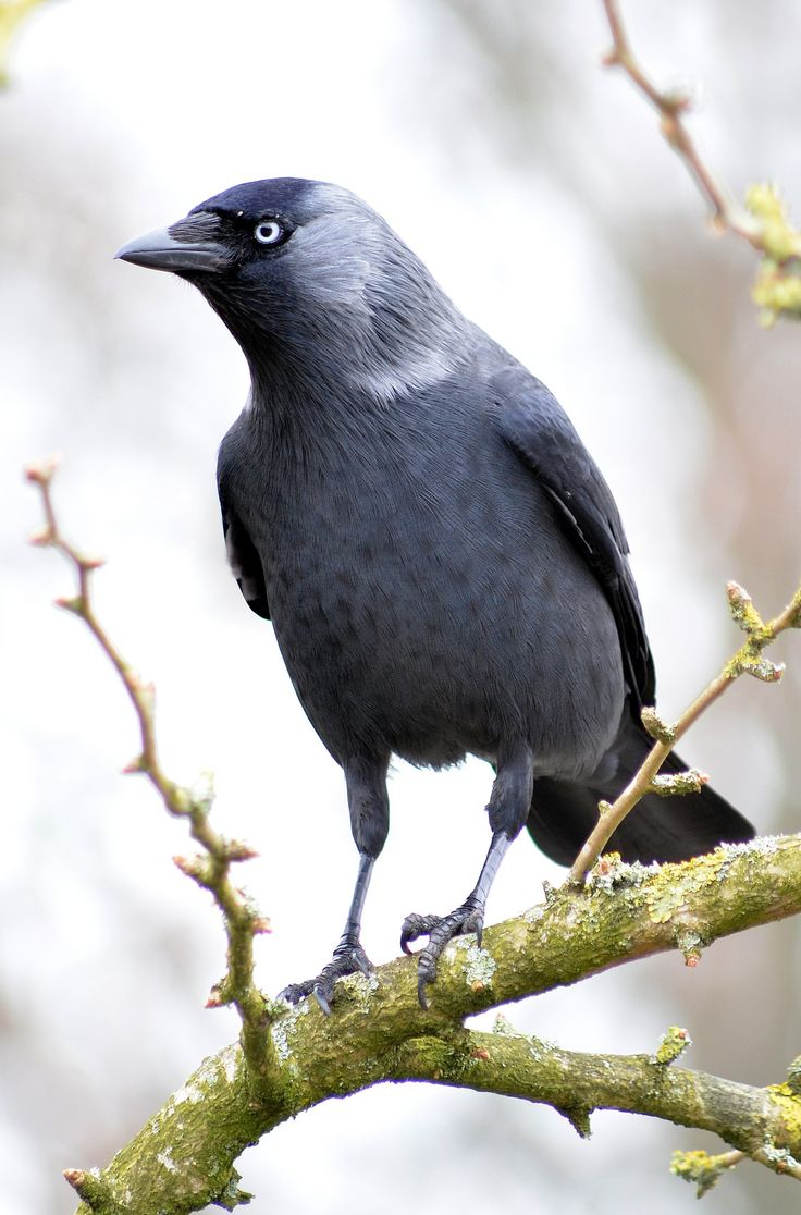 Western Jackdaw (Corvus monedula).....Saw one of these today looking gorgeously shiny in the sunlight - truly beautiful! K