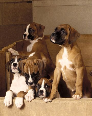 I'll take all Five!: Cute Baby, Boxers Puppies, Boxers Baby, Boxers Dogs, Boxers Love, Dogs Breeds, Pet, Popular Pin, Animal