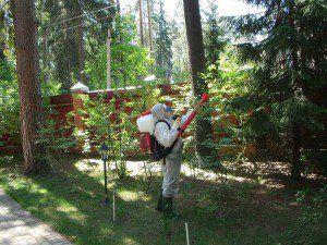 Уничтожение жука короеда на дачных участках, лечение пораженных жуками хвойных деревьев, защита здоровых ельников от заселения короедом-типографом.