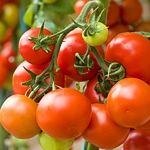 Vlastní rajčata ze zahrádky nebo balkonu mají jedinečnou chuť, ať jsou červená, oranžová, žlutá, kulatá, hruškovitá nebo oválná, maličká cherry nebo obří. Jak se o rostliny starat, aby byly zdravé, krásné a bohatě plodily?