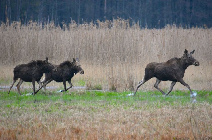Elks (mother and two large calves), Bialowieza, Poland.  #Elk #Elg #Bialowieza #WildPoland #EuropeanWildlife #HenryRasmussen