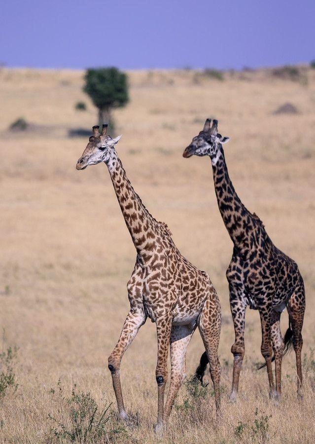 Giraffe in the savannah by Vishwa Kiran on 500px