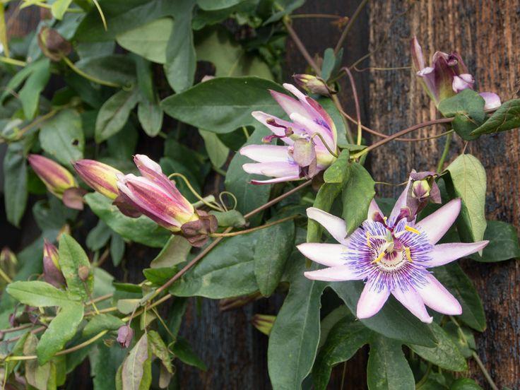 Å, jeg er så glad i pasjonsblomsten min! Jeg kjøpte denne lilla skjønnheteni fjor. Da var den en liten plante med noen vakre blomster på en laaang arm som snoet seg i sirkel rundt seg selv. I år har den blitt et diger prakteksemplar. Makan til voksevilje! Og, mest imponerende – den blomstrer fortsatt! Litt …