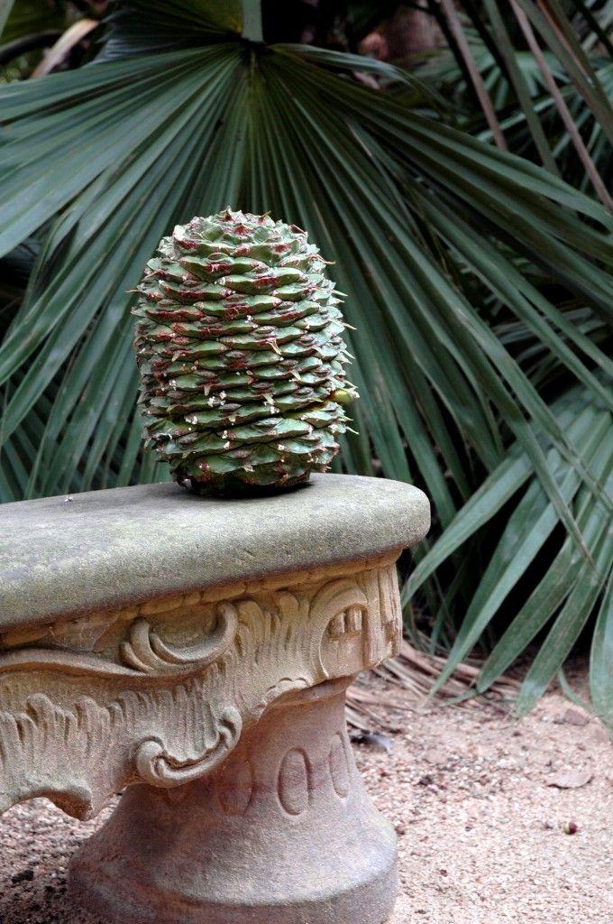Araucaria bidwillii cone | Lotusland, Montecito, California