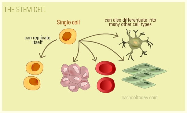 Here is an illustration of a stem cell. Find out what stem cell are and what they can be used for in our Genetics lesson. http://www.eschooltoday.com/science/genetics/what-is-a-stem-cell.html