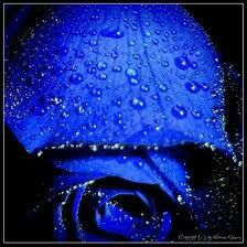 This is very pretty blue rose