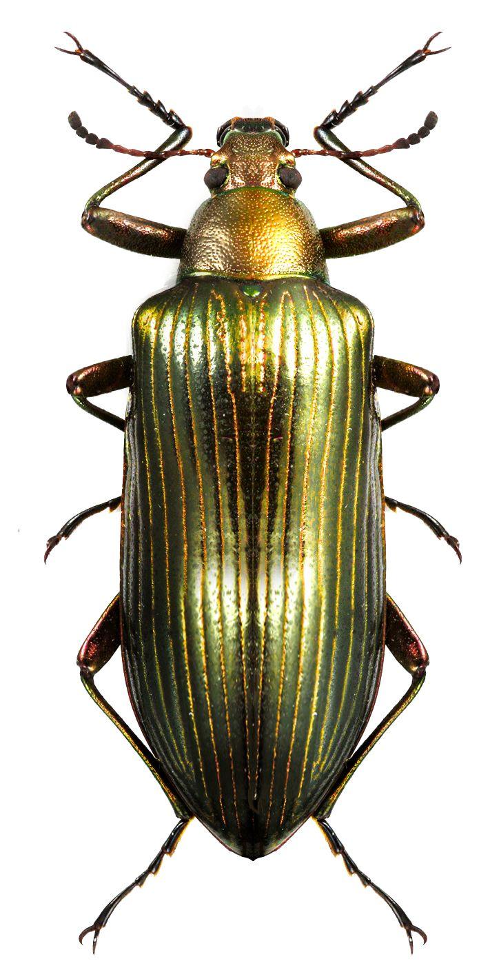 Tenebrionidae unidentified sp.
