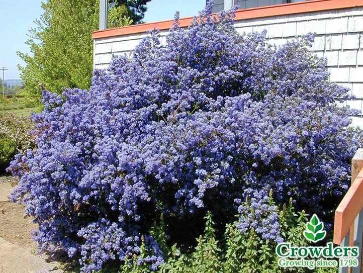 12 best california lilac ceanothus images on pinterest for Purple flower shrub california