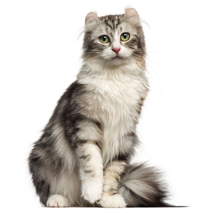 Meowza! These Are the 13 Most Expensive Cat Breeds in the World – CATS