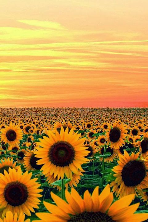 (Sunflower field of Andalusia suburbs)