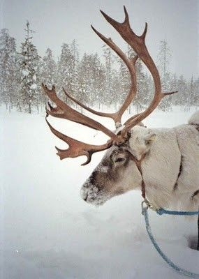 REINDEER: A large deer (Rangifer Tarandus) of the Arctic and northern regions of Eurasia and North America, having branched antlers in both sexes.