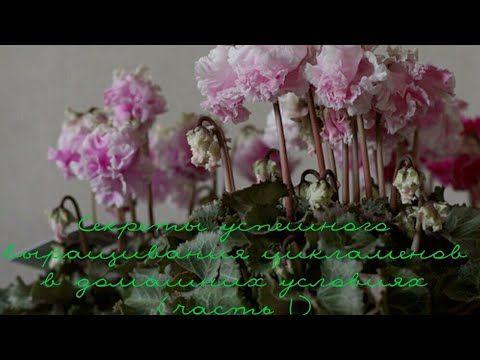 ЦИКЛАМЕН(Cyclamen) Cекреты успешного выращивания цикламенов в домашних у...