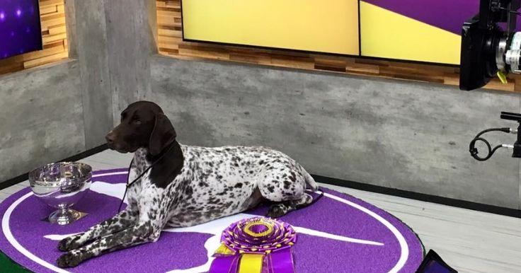Plus de 3000 chiens ont participé au plus grand concours canin de New York