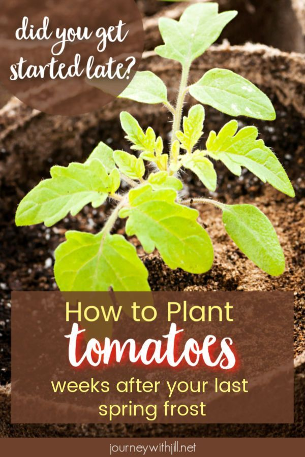 Are You Late In Planting Tomatoes Plants Gardening For