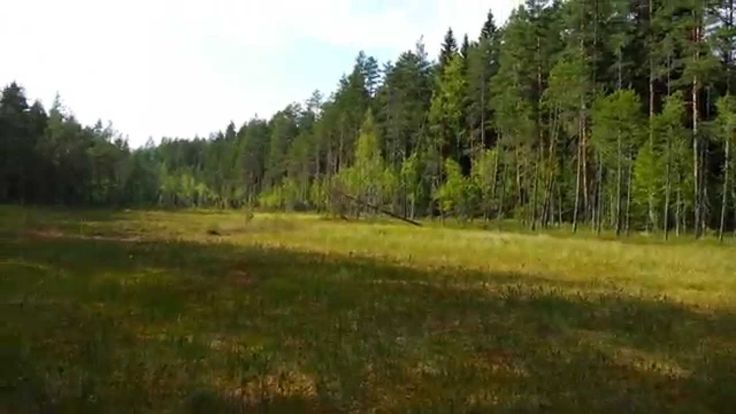 """Video clip from a trip to a swamp to pick the elusive cloudberries. One of the """"most Finnish"""" experiences on earth, available around August-September. Cloudberries taste divine, especially if you've undertaken an adventure to find them. Good places are usually kept secret."""