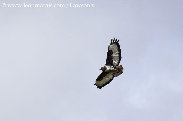 Jackal Buzzard, #Dullstroom #birding #safari