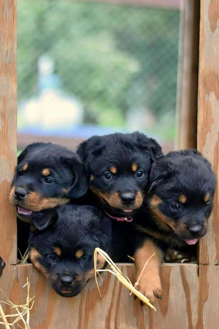 Discover The Loyal Rottweiler Pups Health Rottweilerworld