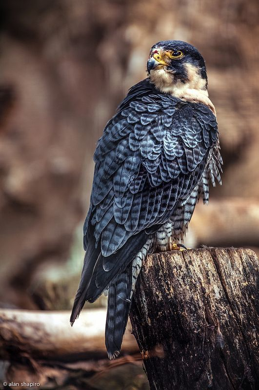 Falcon / by Alan Shapiro