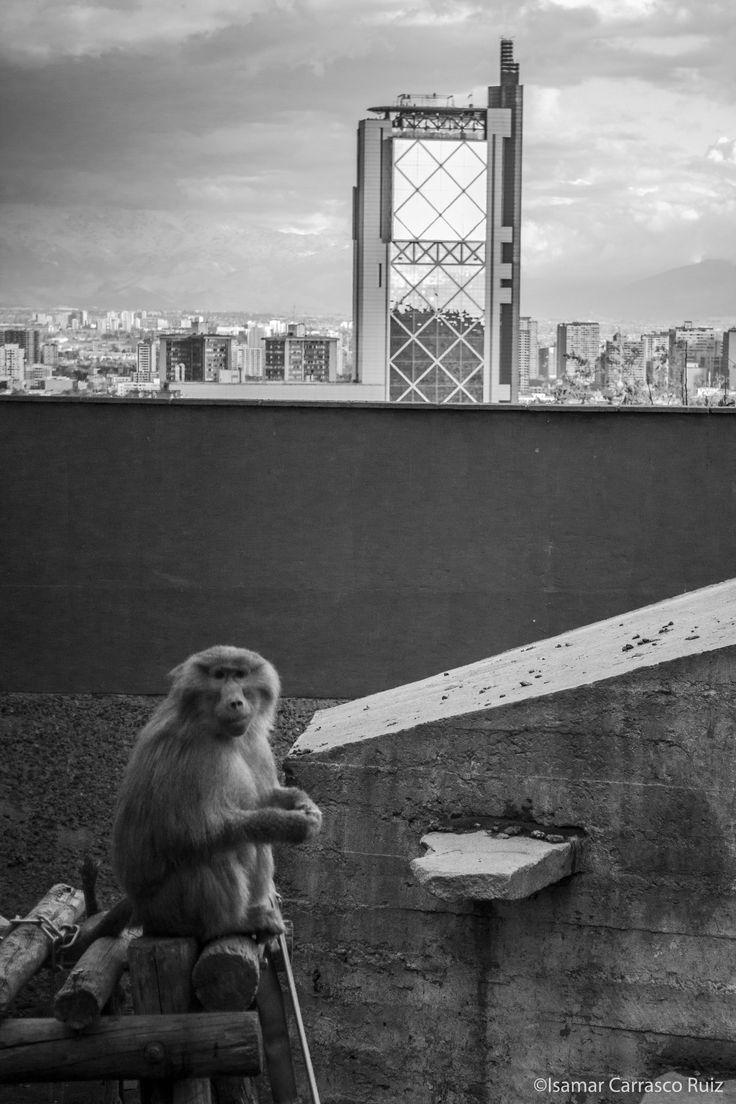 Fotografía digital, blanco y negro.  Mono en el zoológico metropolitano. De fondo, torre telefónica. Santiago - Chile.