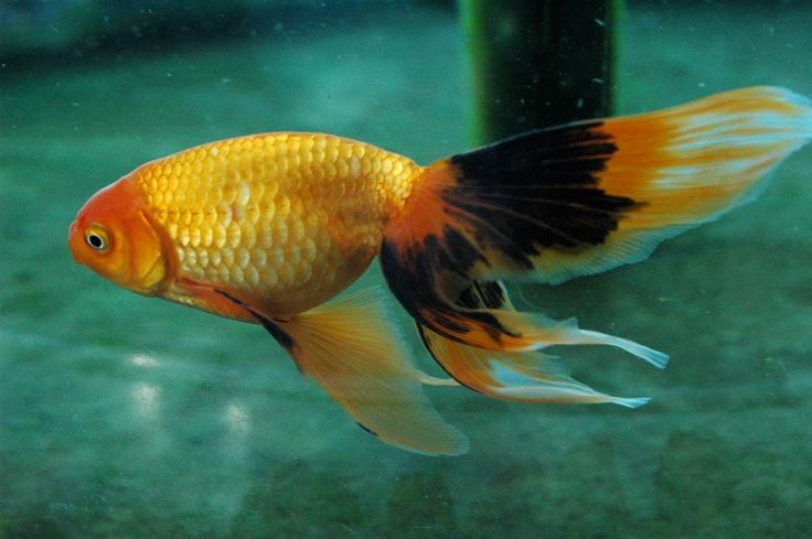 Gold Fish - Excellent Shukin!