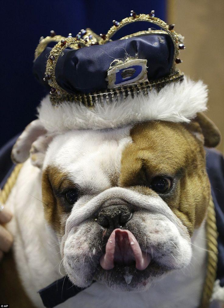 Huckleberry:  Winner of 34th 'Beautiful Bulldog' Contest at Drake University, Des Moines, IA ! via mailonline #Bulldog #Drake_University #Iowa
