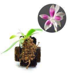 Phalaenopsis Speciosa Pink Rp 900,000