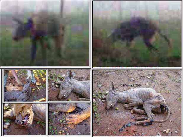 """Two Chupacabra's Shot In North Texas…  Animal Control Office Frank Hackett described the animal involved in the most recent sightings: """"All I know is, it wasn't normal. It was ugly, real ugly. I'm not going to tell no lie on that one."""""""