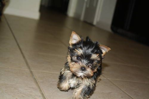 Yorkshire Terrier Puppies: