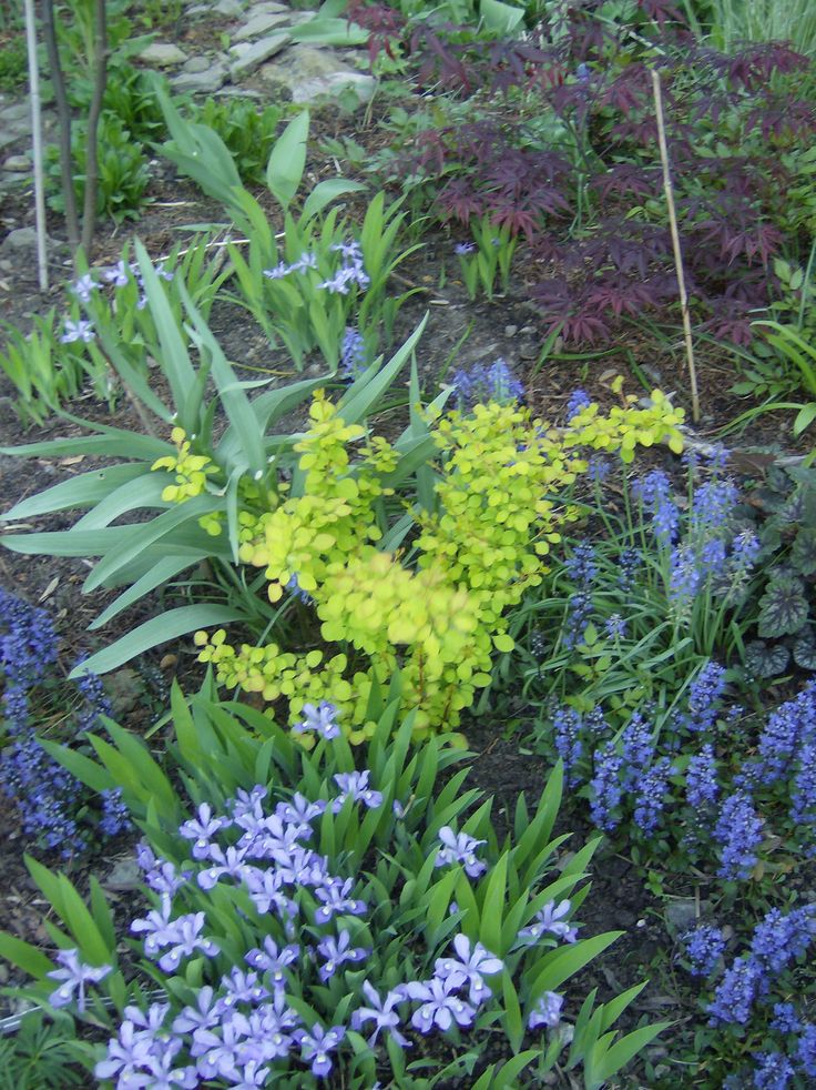 Cool shades in the shade: Berberis seedling surrounded by ajuga Chocolate Chip, iris cristata and Japanese maple.