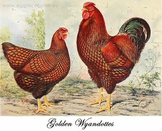 Golden Wyandottes mail and female