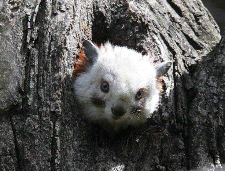 Red And White Giant Flying Squirrel In A Tree Hole