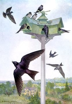 Purple Martin, R. Bruce Horsfall, A Year with the Birds, Alice Ball, 1916