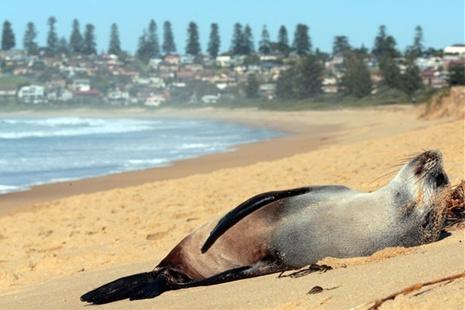 Just catchin' some rays. A fur seal takes a nap on Werri Beach, NSW | Adam McLean, Illwarra Mercury