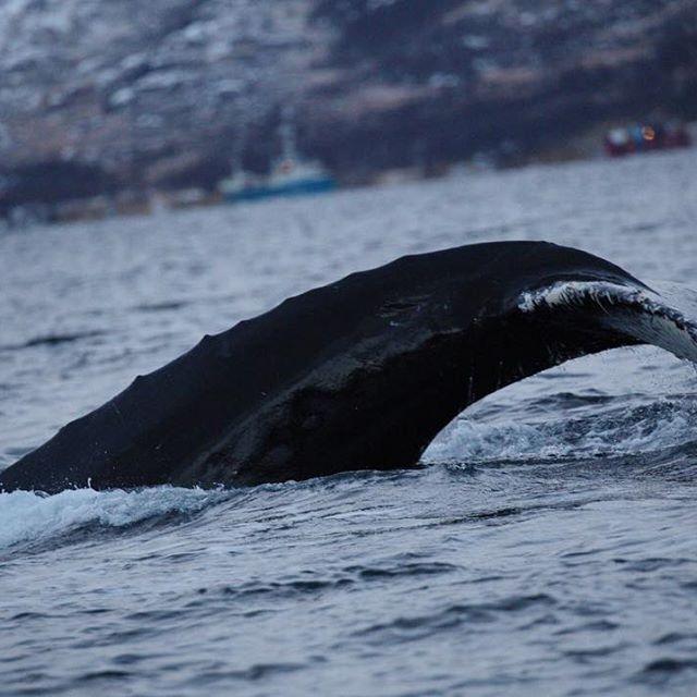 Whale watching in Tromsø, Norway • • • #thisworldtraveled #norway #visitnorway #visittromso #humpbackwhale #kayak #outdooradventure #ouradventures #nature #wildlife #arctic #northernnorway #ig_northernnorway #arcticadventurestours @northernnorway @ig_northernnorway  #cetacean #marinelife #marinemammals #neverstopexploring #wanderlust #worldtravels #ig_addict #canonphotography #canon #canon_photos